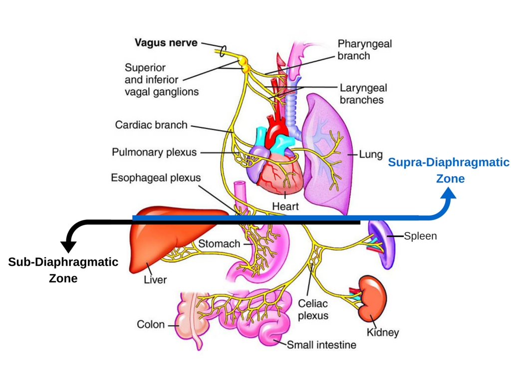 Supra-Diaphragmatic Zone