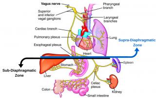 Supra-Diaphragmatic-Zone